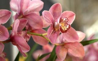 Может ли быть аллергия на орхидею