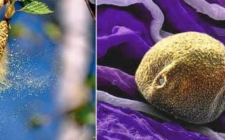 Аллергия на цветение березы лечение