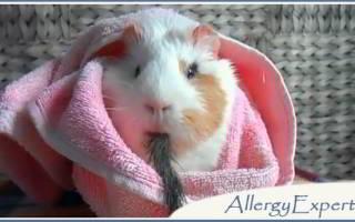 Морская свинка аллергия у детей