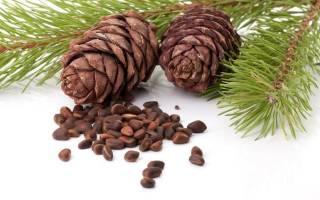 Кедровые орешки польза и вред