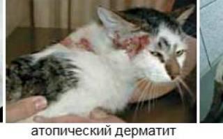 Аллергия у кота лечение