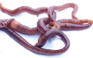 Польза вред дождевого червя