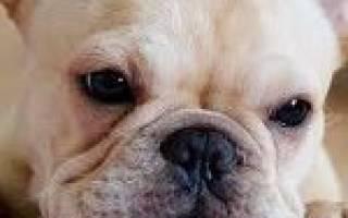 Болезни у французских бульдогов симптомы и лечение